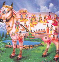 india_cow_hindu_holy_